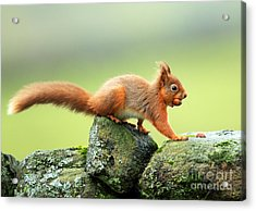 Red Squirrel Acrylic Print by Clare Scott