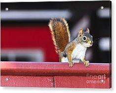 Red Squirrel On Railing Acrylic Print by Elena Elisseeva
