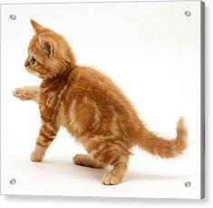 Red Tabby Kitten Acrylic Print by Jane Burton