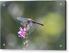 Red Tail Dragonfly Acrylic Print