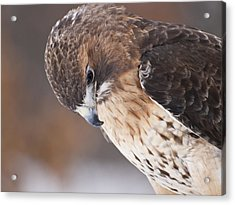 Red Tail Hawk Acrylic Print by Cindy Lindow