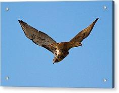 Red Tail Hawk Acrylic Print by DK Hawk