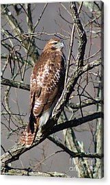 Acrylic Print featuring the photograph Red Tail Hawk by Laurinda Bowling