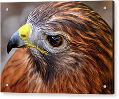 Red-tailed Hawk Close Up Acrylic Print