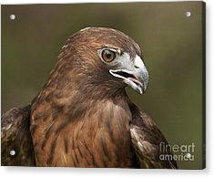 Acrylic Print featuring the photograph Red-tailed Hawk by Doug Herr