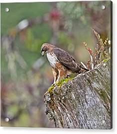 Red-tailed Hawk Acrylic Print