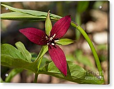 Acrylic Print featuring the photograph Red Trillium by Les Palenik