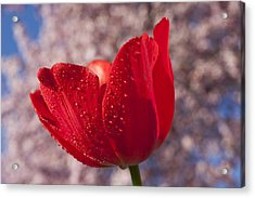 Red Tulip And Cherry Tree Acrylic Print by Garry Gay