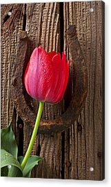 Red Tulip And Horseshoe  Acrylic Print