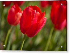 Red Tulip Acrylic Print by Denis Lemay