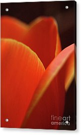 Acrylic Print featuring the photograph Red Tulip by Jeannette Hunt