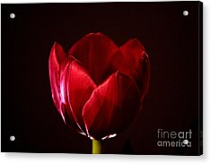 Red Tulip Acrylic Print by Stephen Mitchell