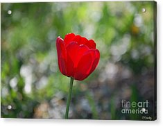Only But A Single Tulip Acrylic Print