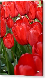 Red Tulips Close Up Acrylic Print