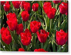 Acrylic Print featuring the photograph Red Tulips by Hans Engbers