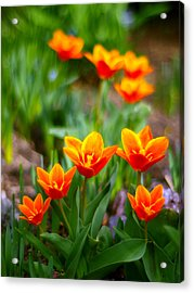 Red Tulips Acrylic Print by Paul Ge
