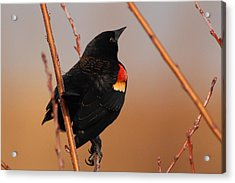 Red Wing Black Bird Acrylic Print by DK Hawk