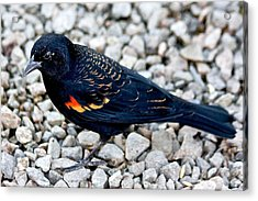 Red Wing Blackbird Acrylic Print by Scott Holmes