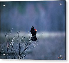 Acrylic Print featuring the photograph Red-wings Morning Call 10o by Gerry Gantt