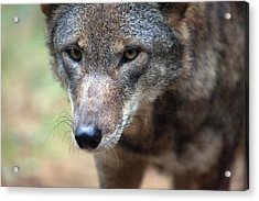 Red Wolf Closeup Acrylic Print by Karol Livote