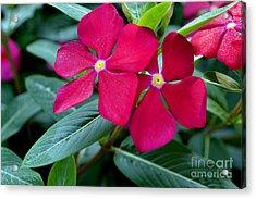 Red Woodland Phlox Flowers Acrylic Print by Eva Thomas