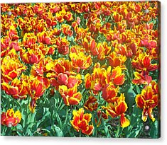 Red-yellow Tulips Acrylic Print