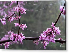 Redbud With Webs And Dew Acrylic Print