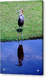 Reddish Egret  Acrylic Print by Michelle Harrington