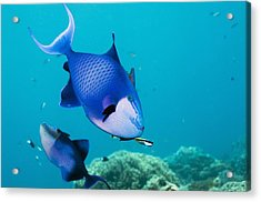 Redtoothed Triggerfish Acrylic Print by Georgette Douwma
