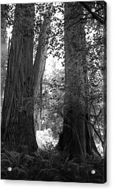 Redwood Pair Acrylic Print