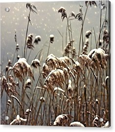 Reed In Snow Acrylic Print by Joana Kruse