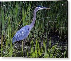 Reed Walker Acrylic Print by Brian Stevens