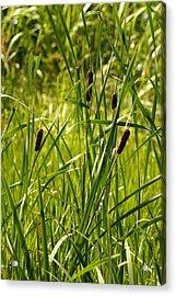 Reeds Acrylic Print by Margaret Steinmeyer