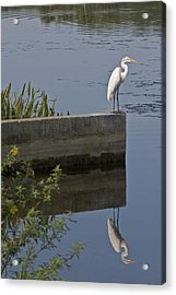 Reflecting Egret Acrylic Print
