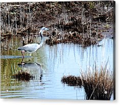 Reflections Of A Blue Heron Acrylic Print