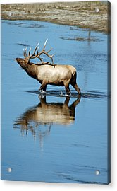 Reflections Of An Elk Acrylic Print