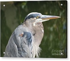 Acrylic Print featuring the photograph Regal Heron by Gayle Swigart