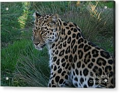 Relaxing Leopard Acrylic Print by Carol Wright