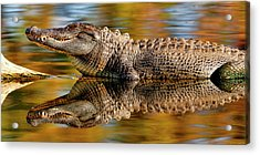 Relection Of An Alligator Acrylic Print