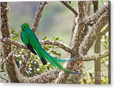 Resplendent Quetzal Acrylic Print