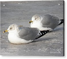 Resting On The Ice Acrylic Print by Judy Via-Wolff