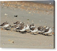 Resting Sandpipers Acrylic Print
