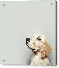 Retriever Pup Acrylic Print by J W L Photography