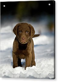 Retriever Puppy In Snow Acrylic Print by Copyright © Kerrie Tatarka