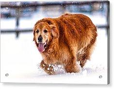 Retriever Running In Snow Acrylic Print by Matt Dobson