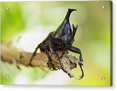 Rhinoceros Beetle  Acrylic Print by Anek Suwannaphoom