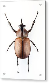 Rhinoceros Beetle Acrylic Print by Lawrence Lawry