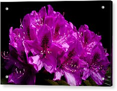 Rhododendron Acrylic Print by David Patterson
