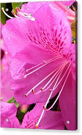 Rhododendron Flower Acrylic Print by Manuela Constantin
