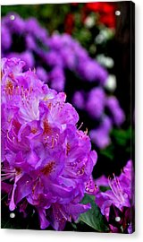 Acrylic Print featuring the photograph Rhododendron  by Puzzles Shum